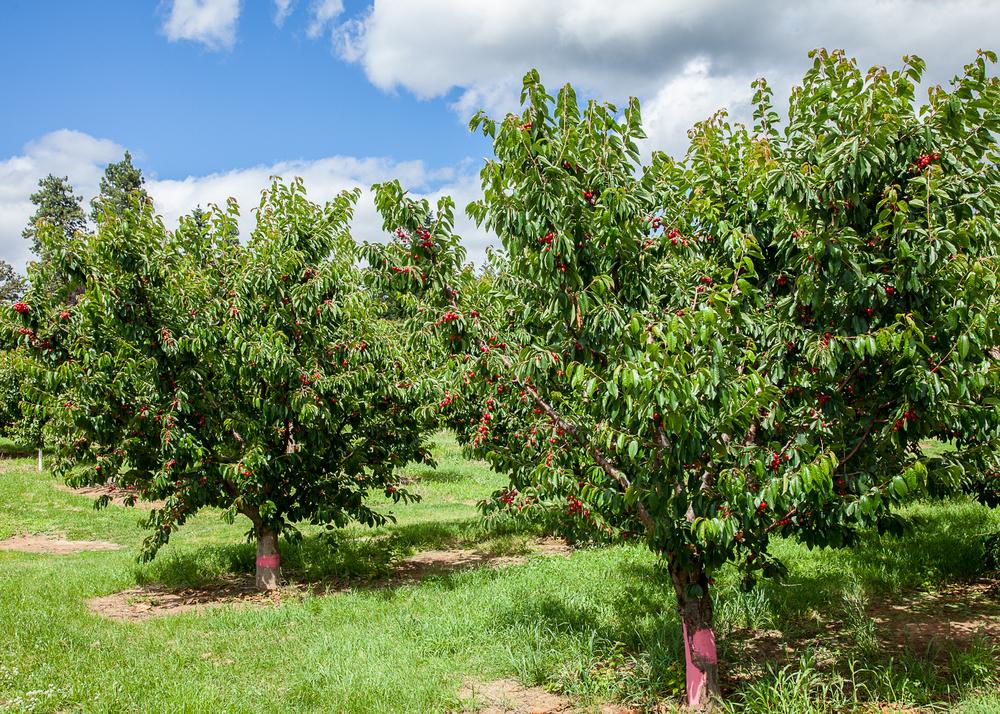 Cherry trees full of fruit.