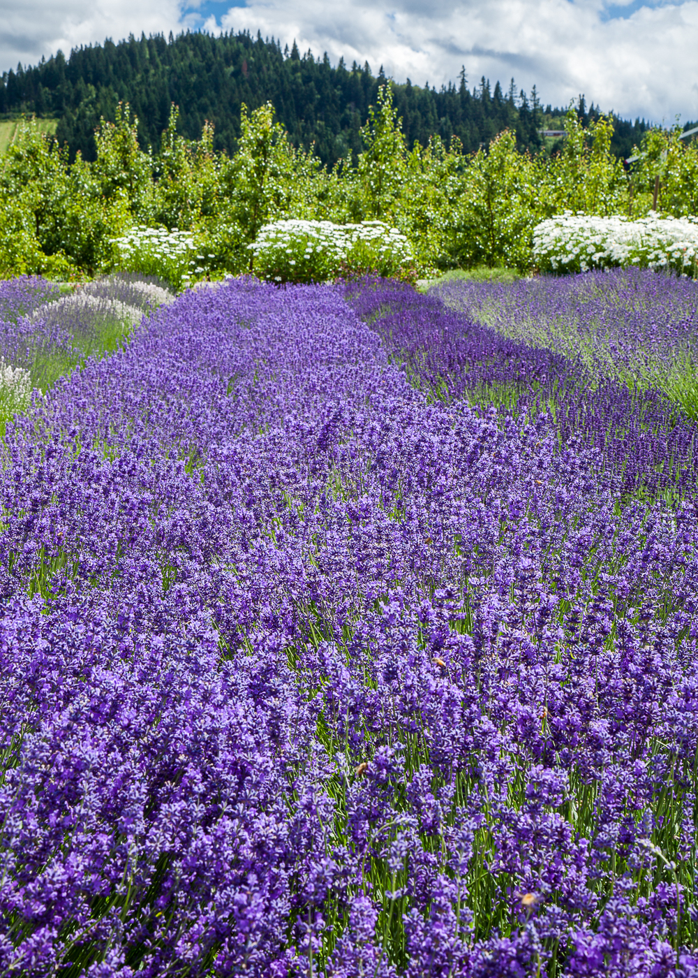 Rows of lavender, at the lavender farm.
