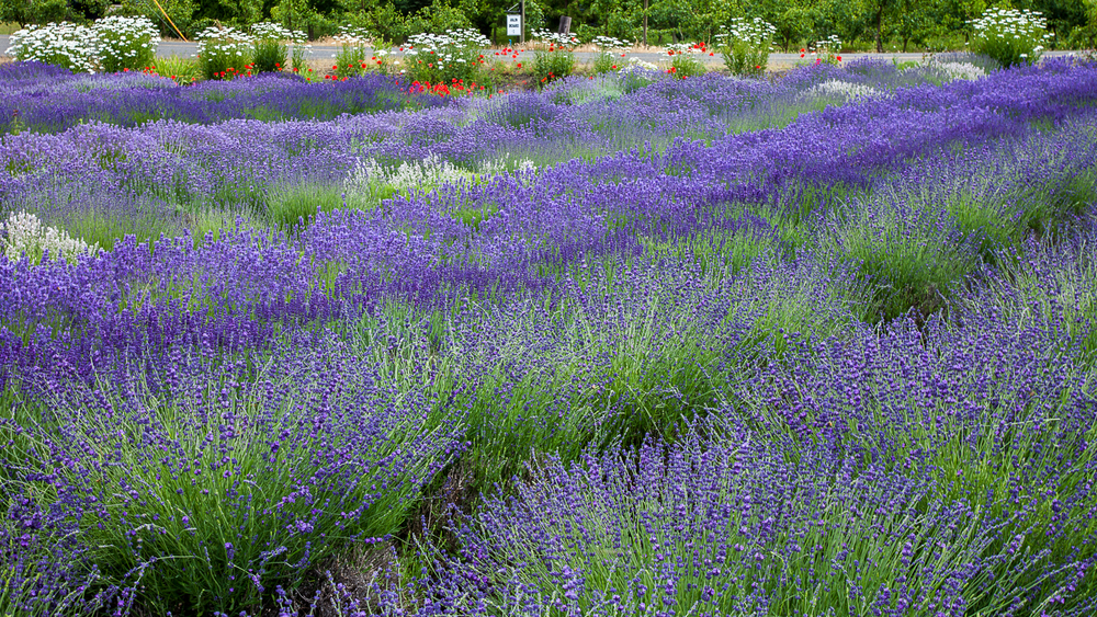 Flowers, all around the lavender fields.