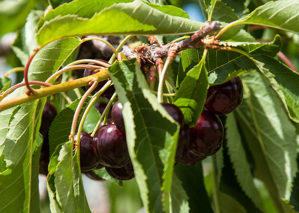 Bing cherries, on the branch.