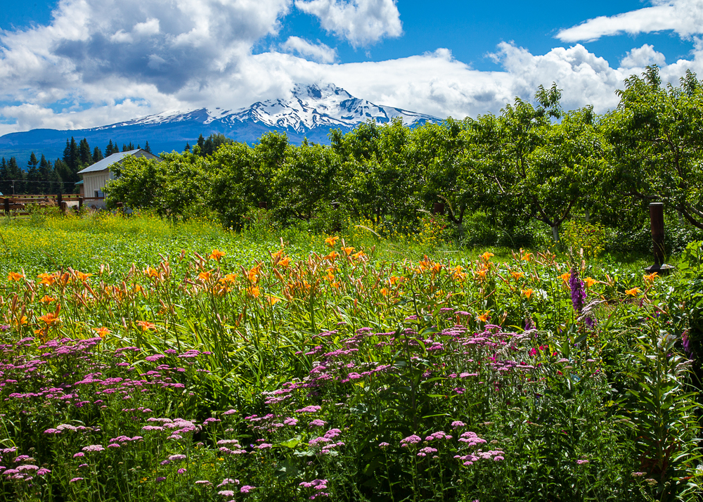 Flowers and Mount Hood.