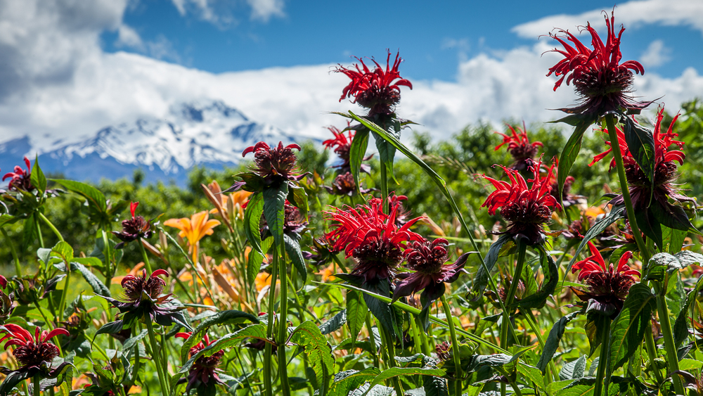 The garden had lots of great flowers, these with Mount Hood for a back drop.