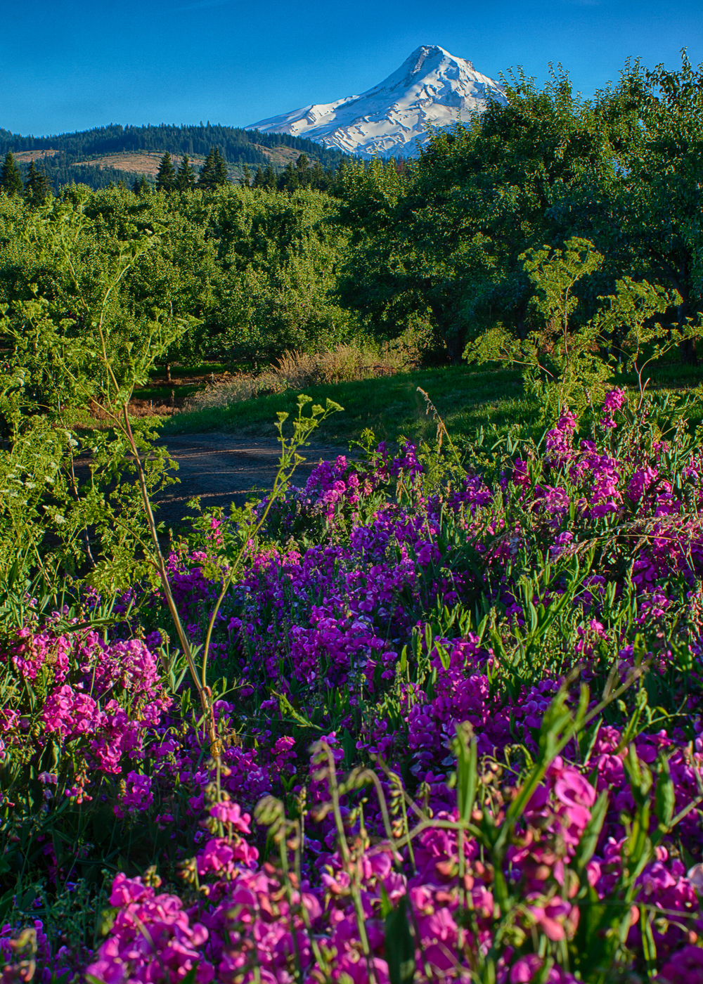 Wild flowers, with Mount Hood in the background.