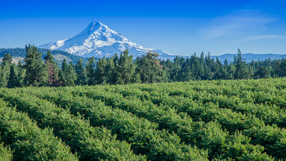 Orchards and Mount Hood