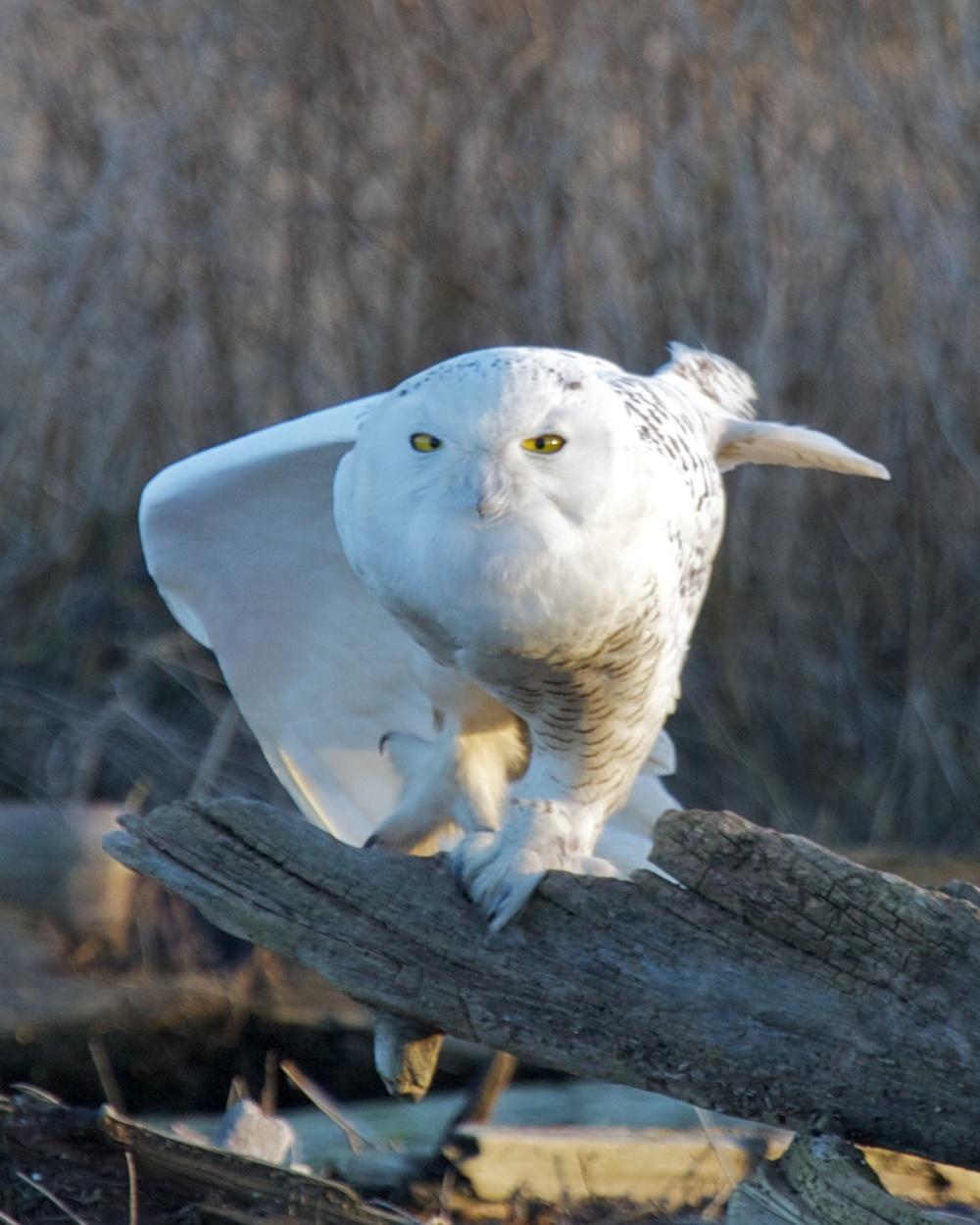 Owls++27097-1673693784-O.jpg