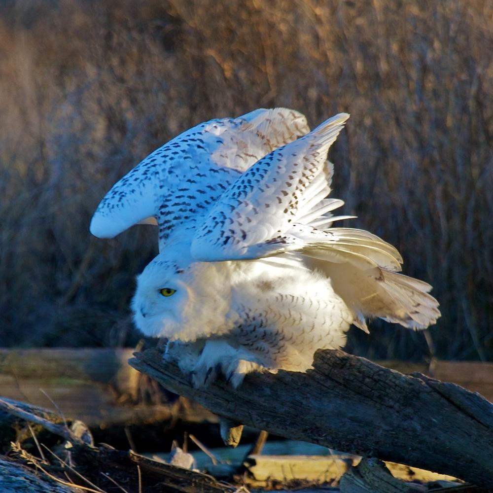 Owls++27114-1673693463-O.jpg