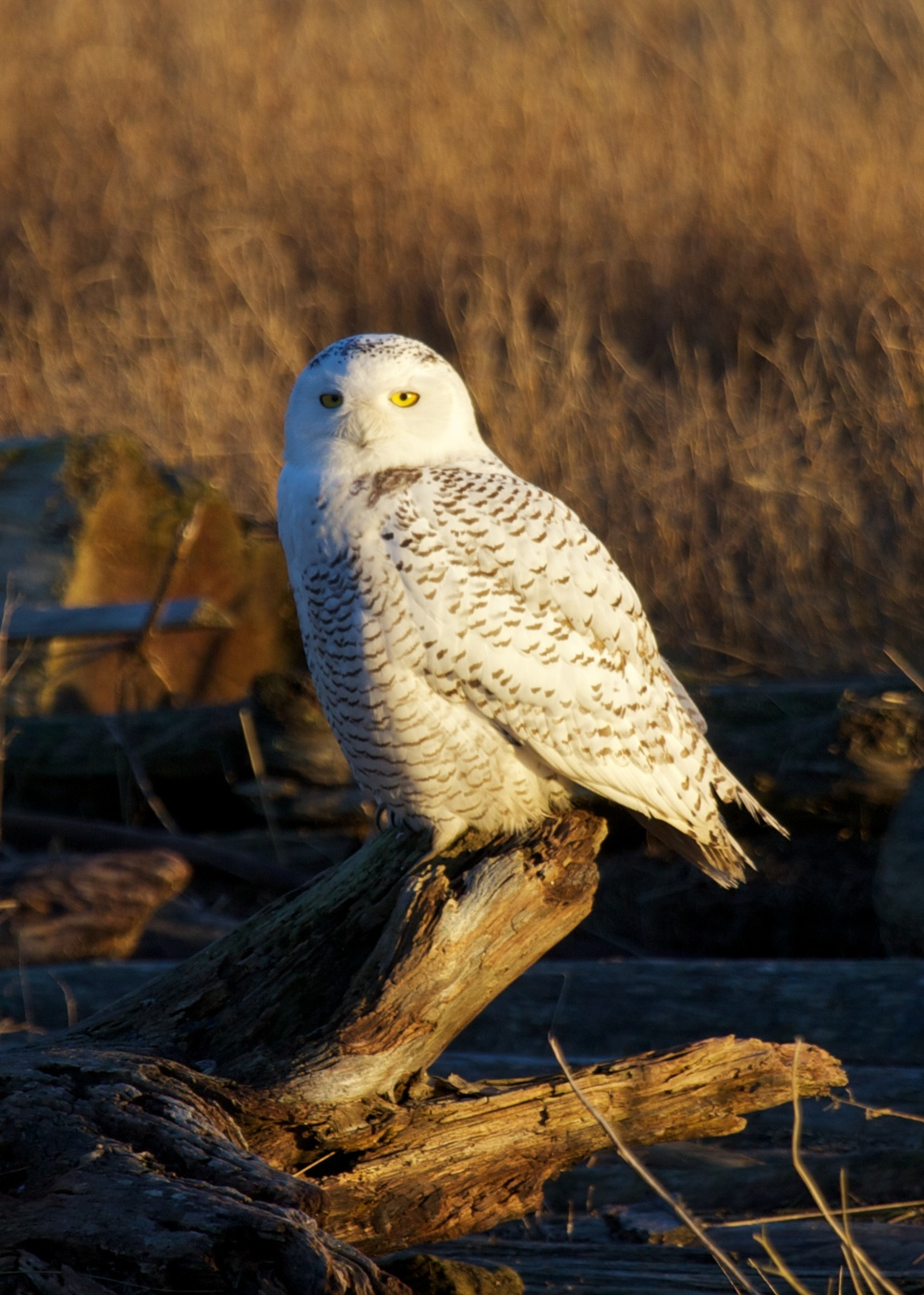 Owls++27148-1673693146-O.jpg