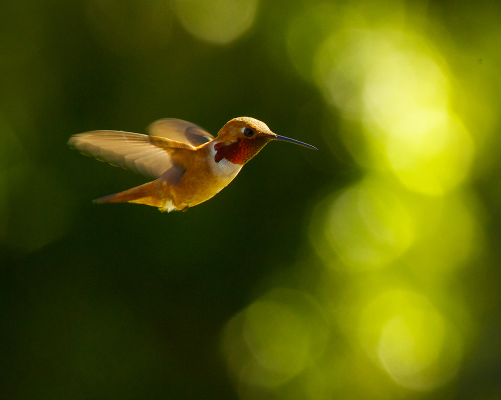 Rufous+Hummingbird-2207809448-O.jpg