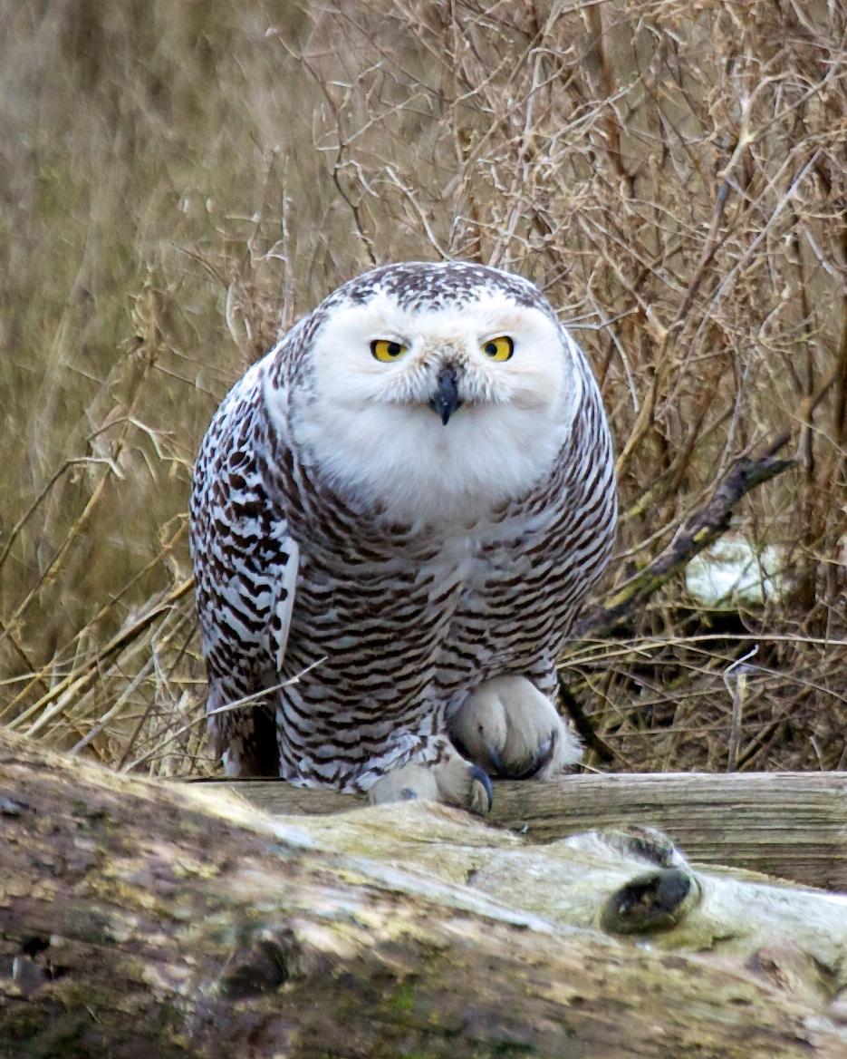 Snowy+Owl-2207777524-O.jpg