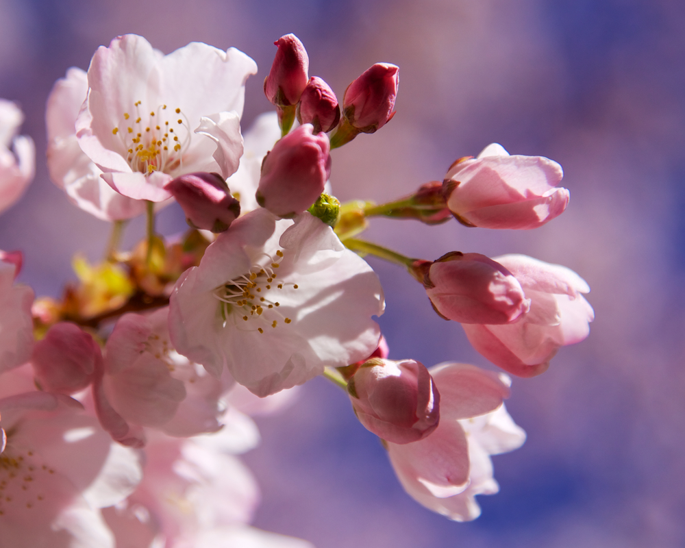 201303 Blossoms 25.jpg