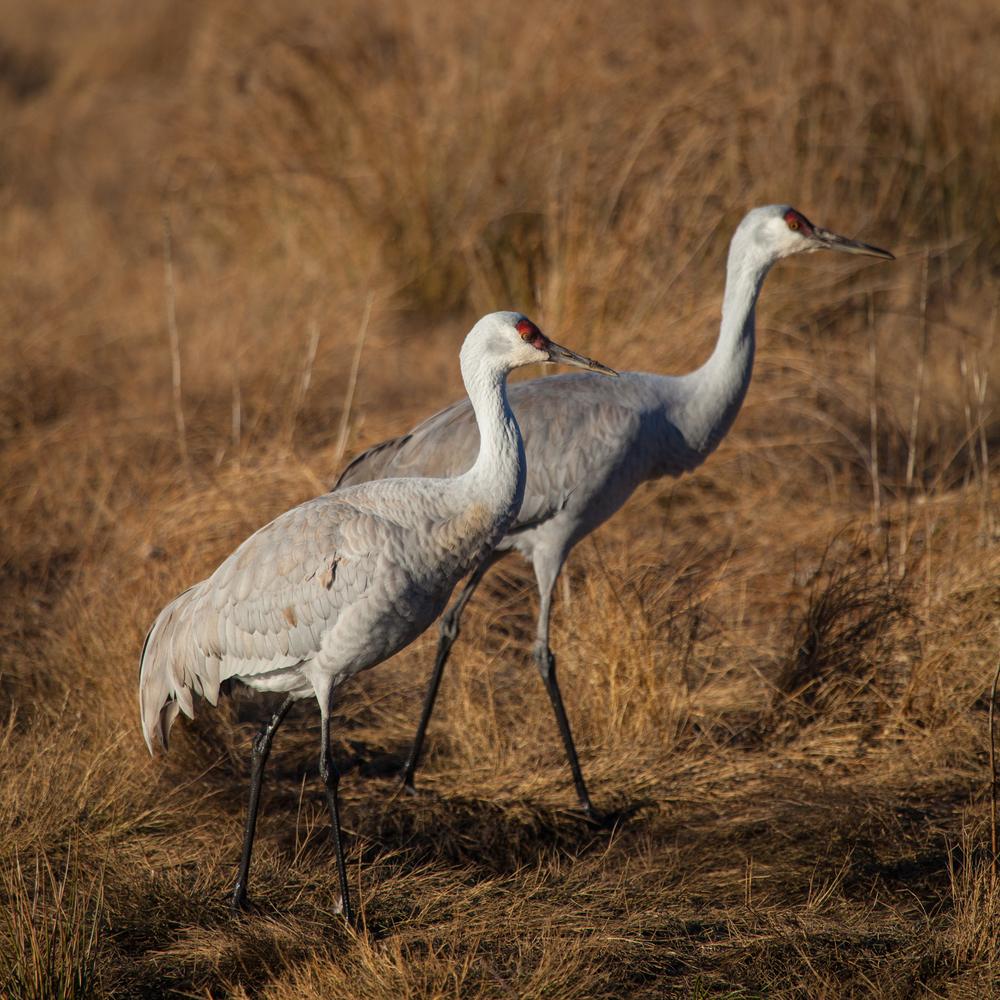 sandhill_cranes.jpg