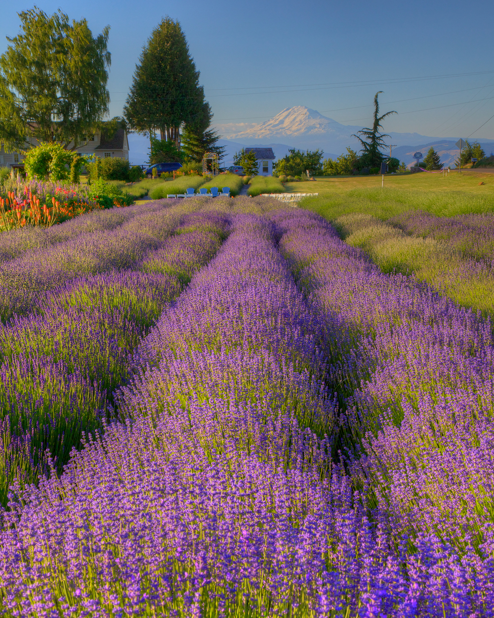 Fields+of+Lavender-2207729381-O.jpg