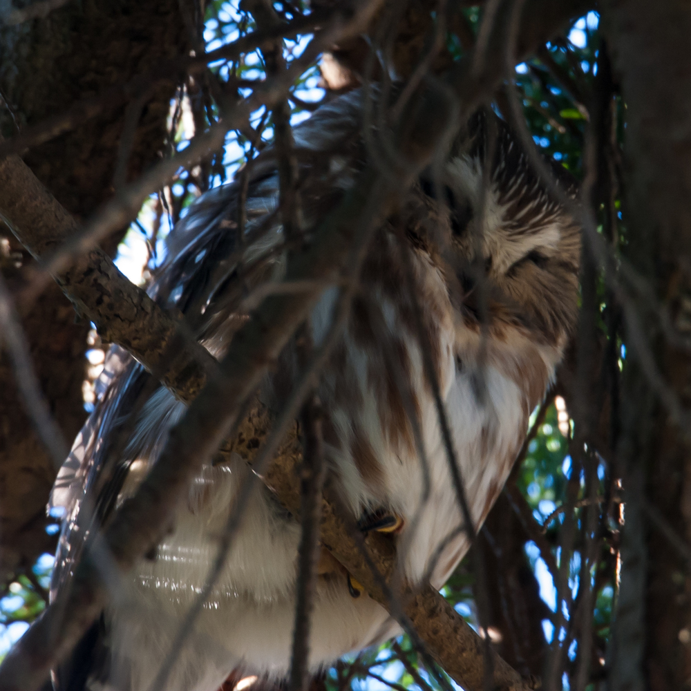 A little saw whet owl, sitting deep in the trees.