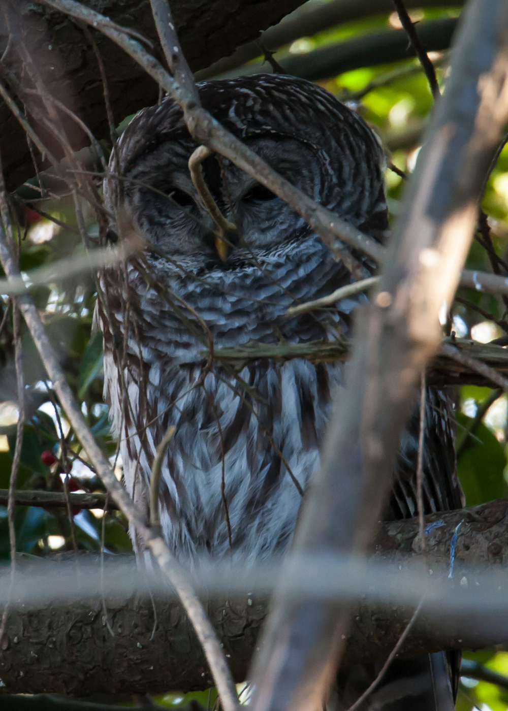 This barred owl was sitting deep in the trees, totally hidden in shadow. I only managed one decent picture.