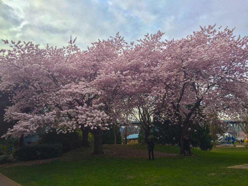 Cherry blossoms on Granville Island