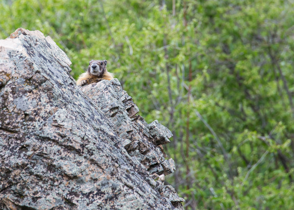 Marmot! Driving out from Blue Mountain we had our first critter sighting of the day.