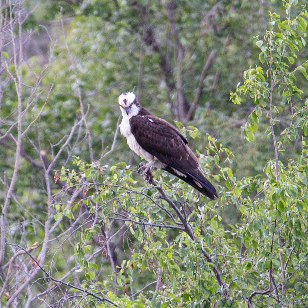 Osprey in a tree.