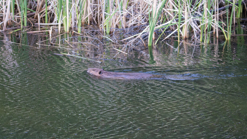 We didn't manage to get a pic of the beaver out of the water, but here he is swimming away.