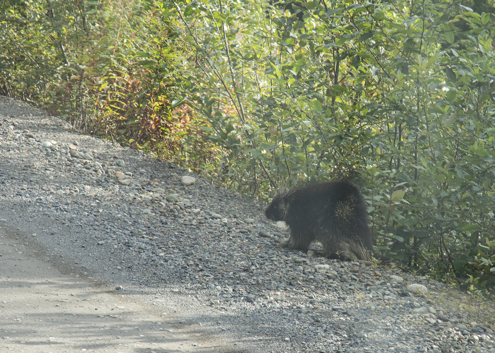 One of a few porcupine that we saw.