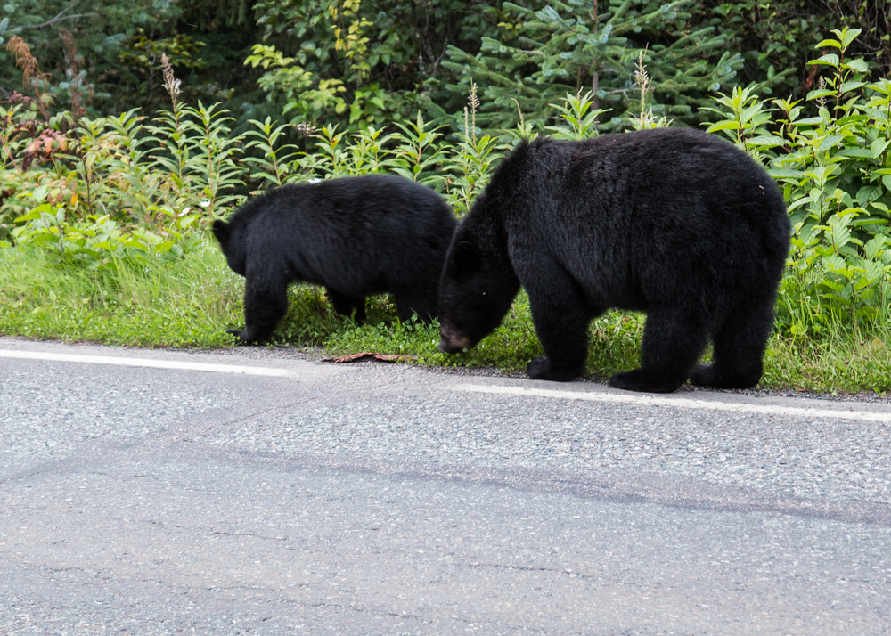 Momma bear and her cub wandering the side of the road. She really wasn't too worried about the traffic. The light was so bad at this point that photos pretty much didn't work.