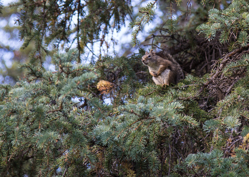 Red squirrels were the most common wildlife we saw on the trip. They chattered at us at pretty much every stop. This little guy was happy to pose for me, during our stop at Kinaskan Lake.
