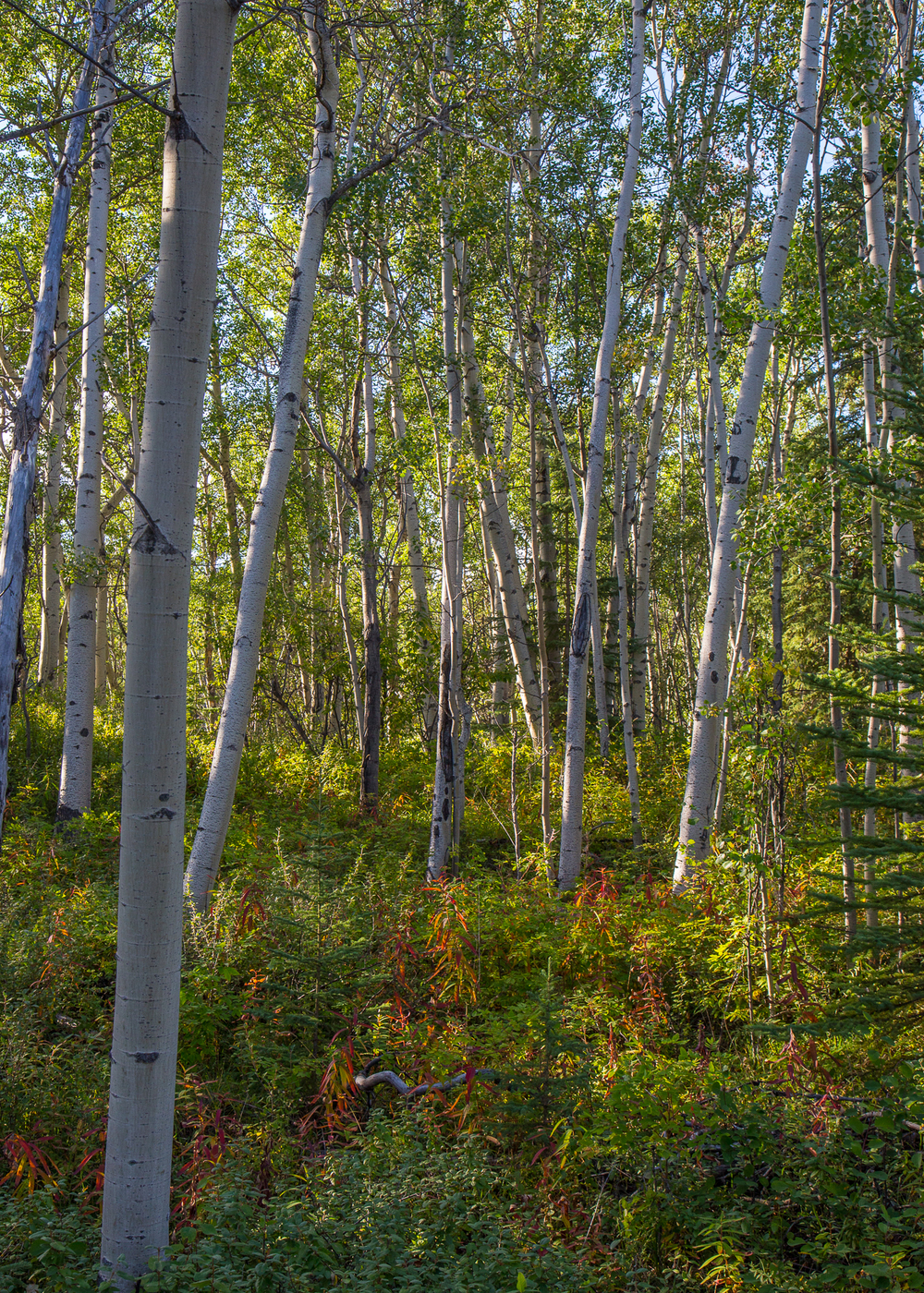 Aspen (I think) forest on the hiking trail.