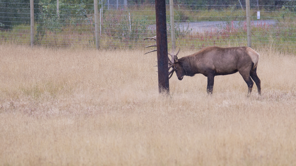A bull elk getting ready for the fall rut.