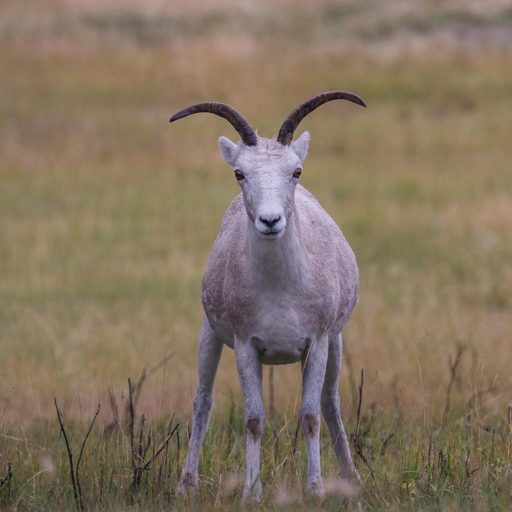 Juvenile stone sheep