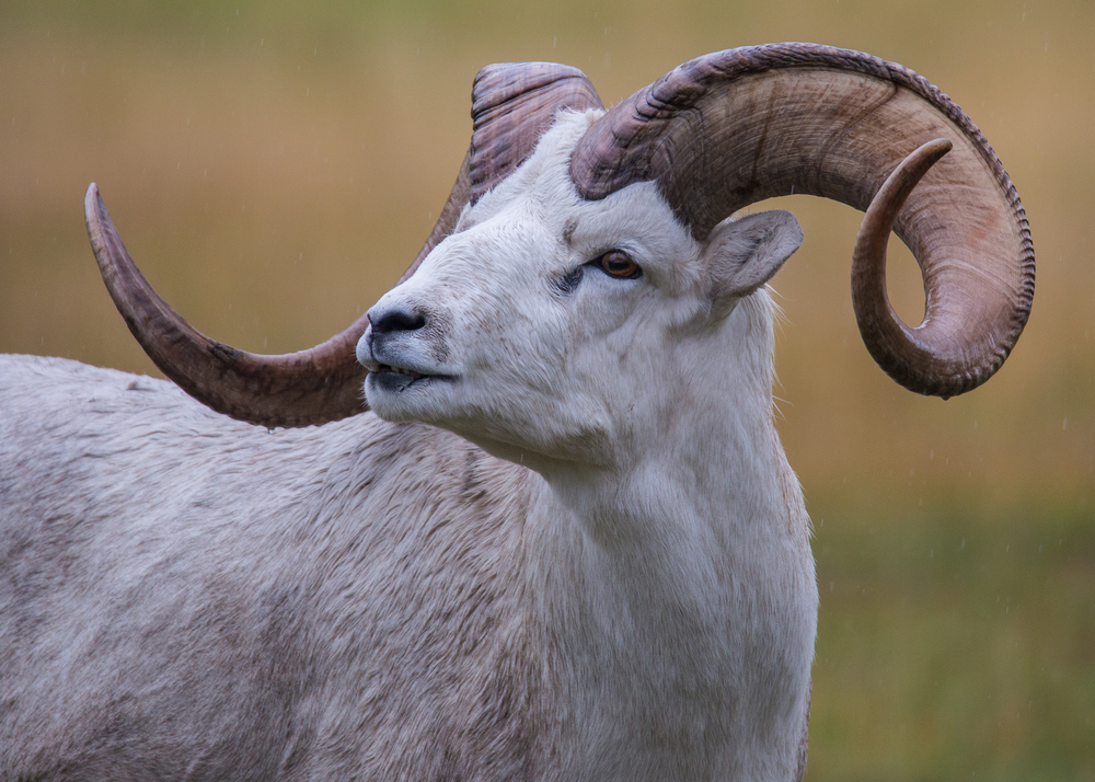 Dall sheep with a great set of horns.