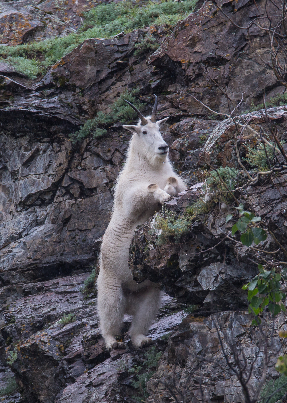 Mountain goat doing what he does best!