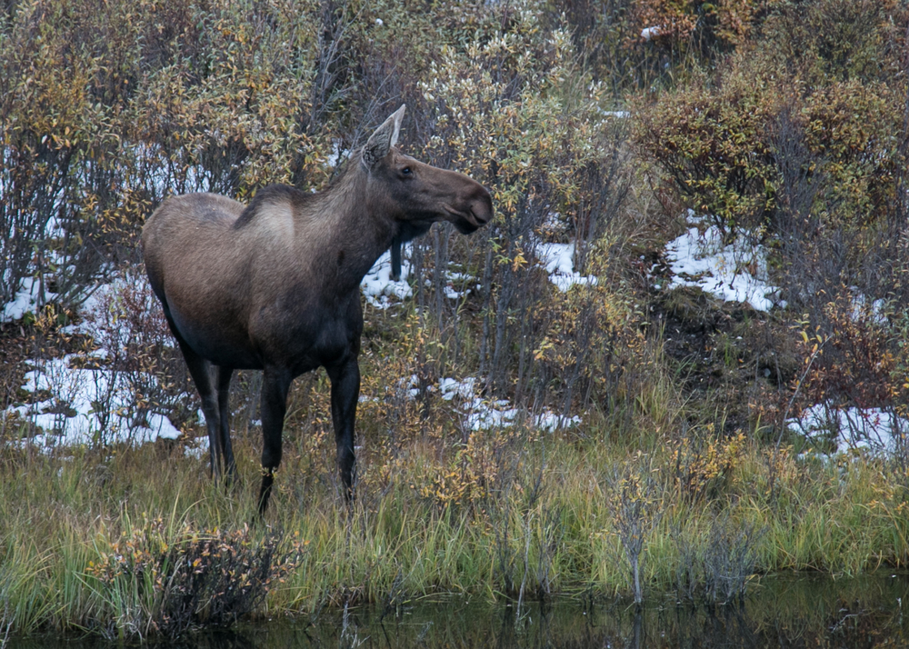 Our female moose, checking up on her calf which we really didn't get a good look at.