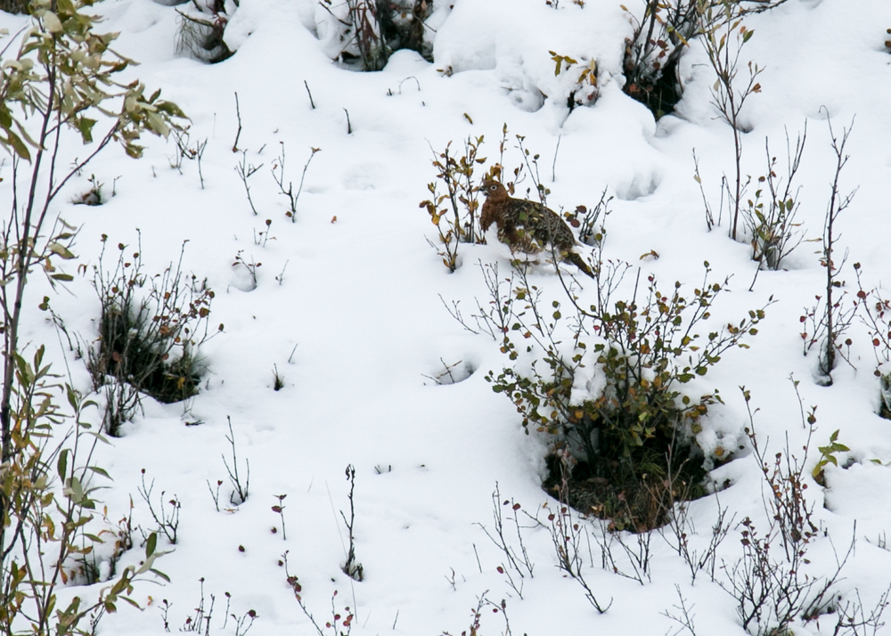 The only critters we saw that morning were ptarmigan, starting to change their colours.