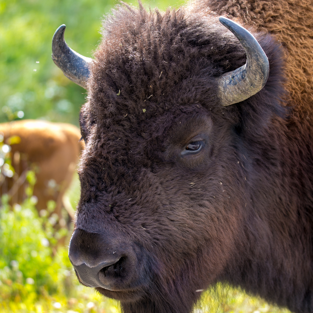 bison head shot