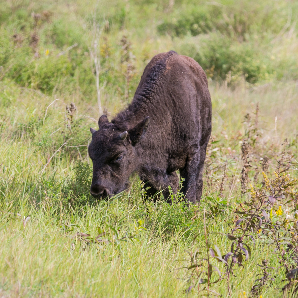 Bison calf, with horns just starting to grow.