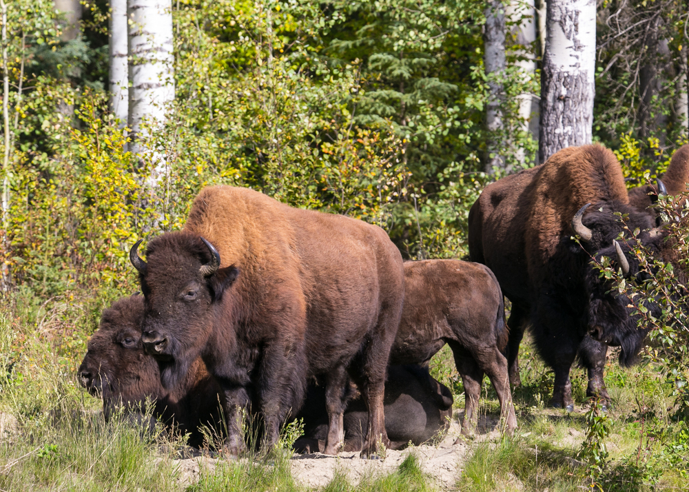 A herd of the bison, on the edge of the forest.