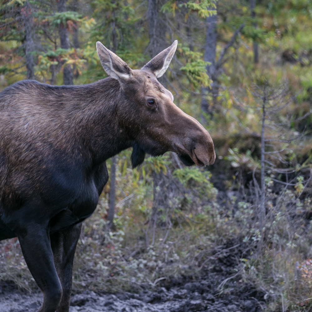 female moose 2