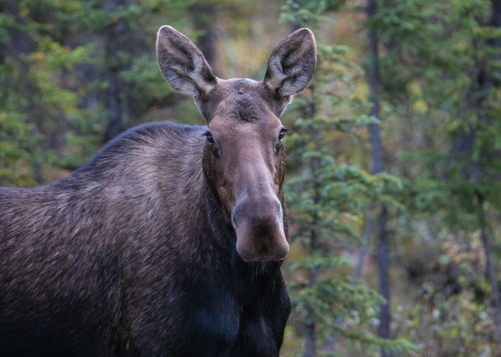 female moose 4
