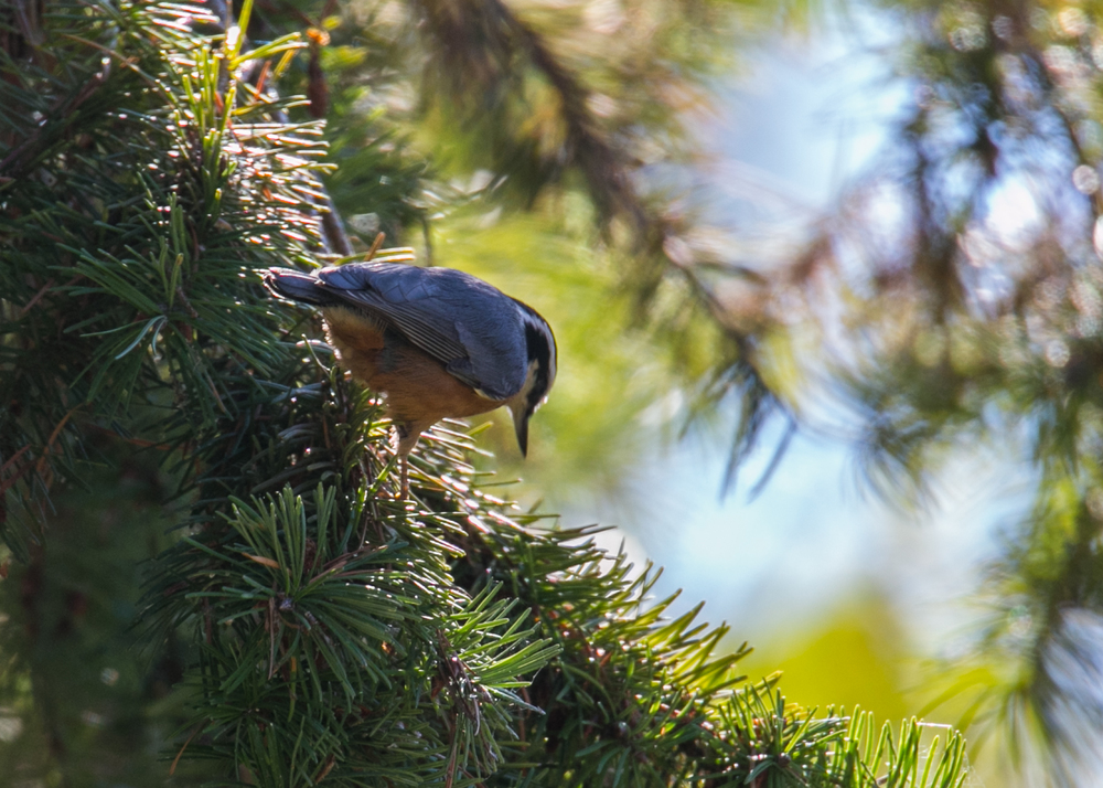 The little nuthatch was the first unusual bird we saw.