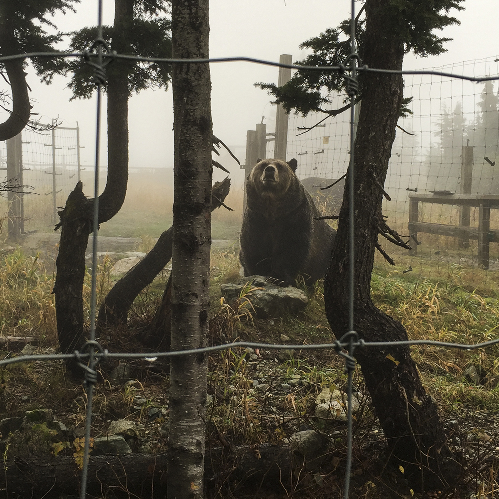 One of the big grizzly bears in the enclosure at the top of Grouse Mountain.