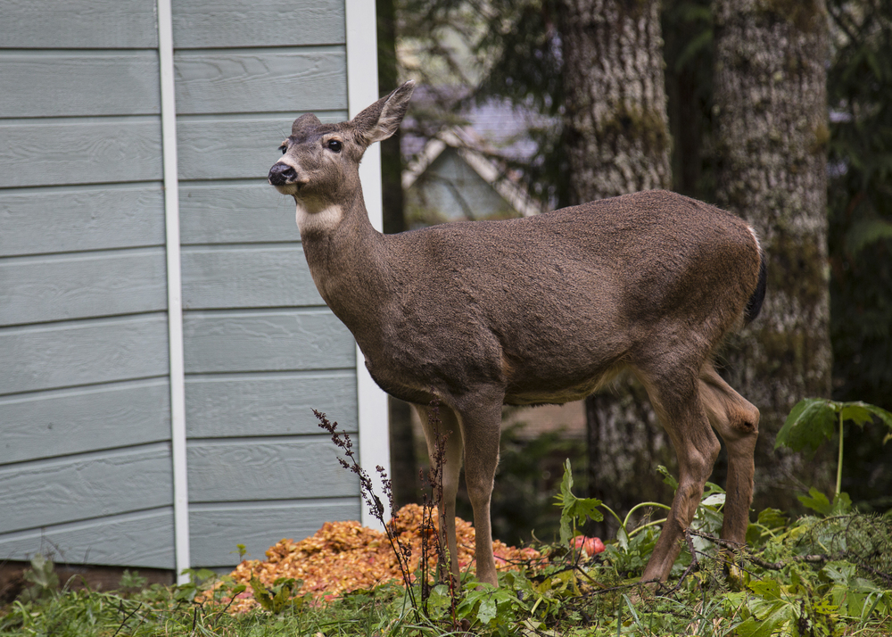 The deer were unafraid...