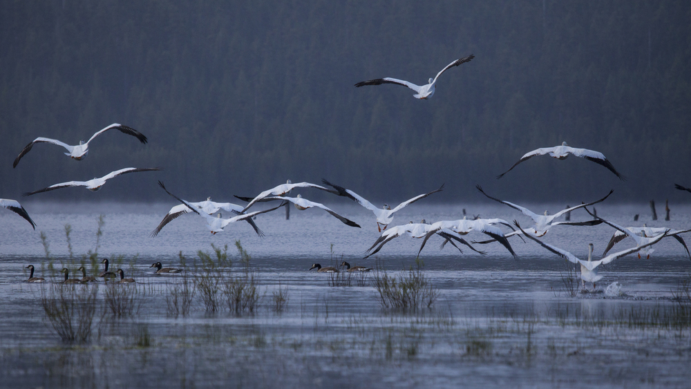 A flock of pelicans takes off after I surprised them when I came out from the forest to the lake.
