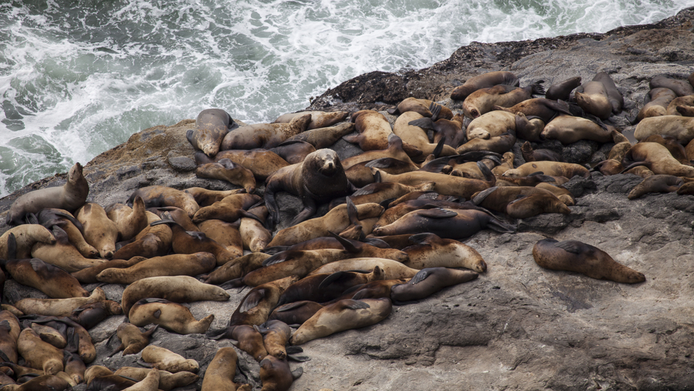 Sea lions sleeping on the rocks.