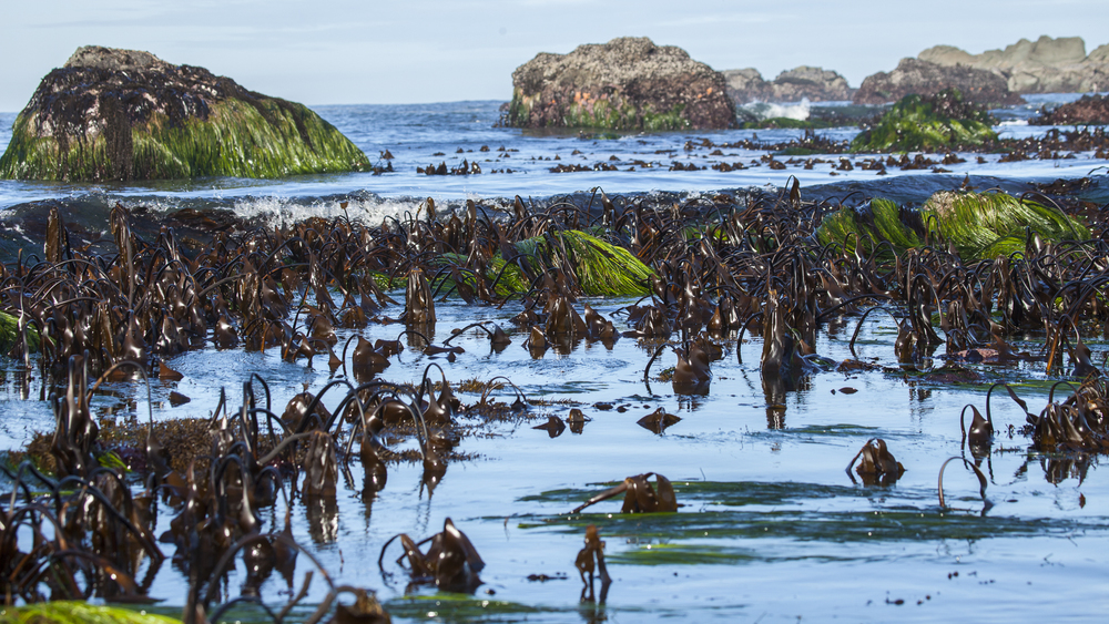 Kelp forest on the Oregon Coast.