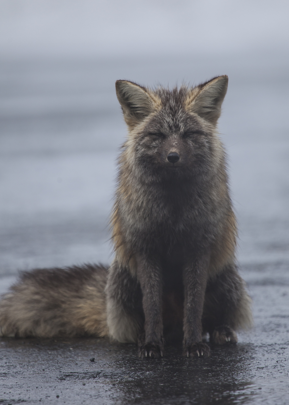 Cascades red fox