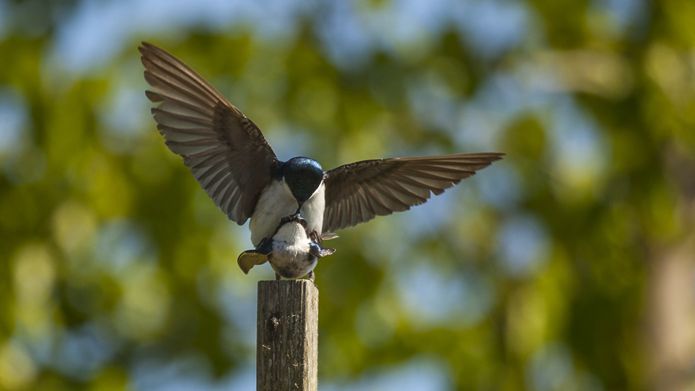 Tree swallows mating.