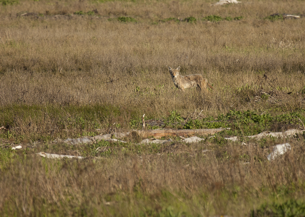 Coyote out at Boundary Bay.