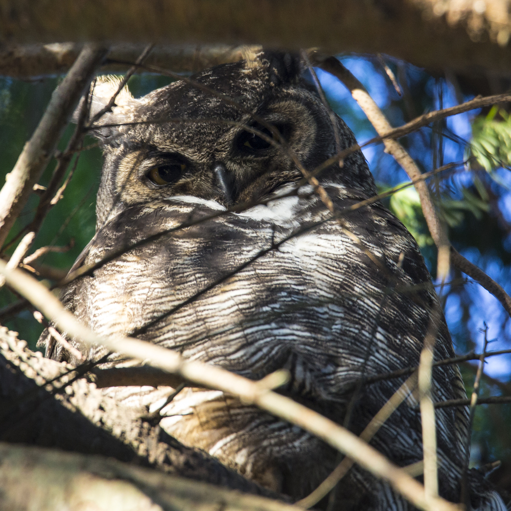 The highlight of the day was the two great horned owls that were snoozing in the trees.