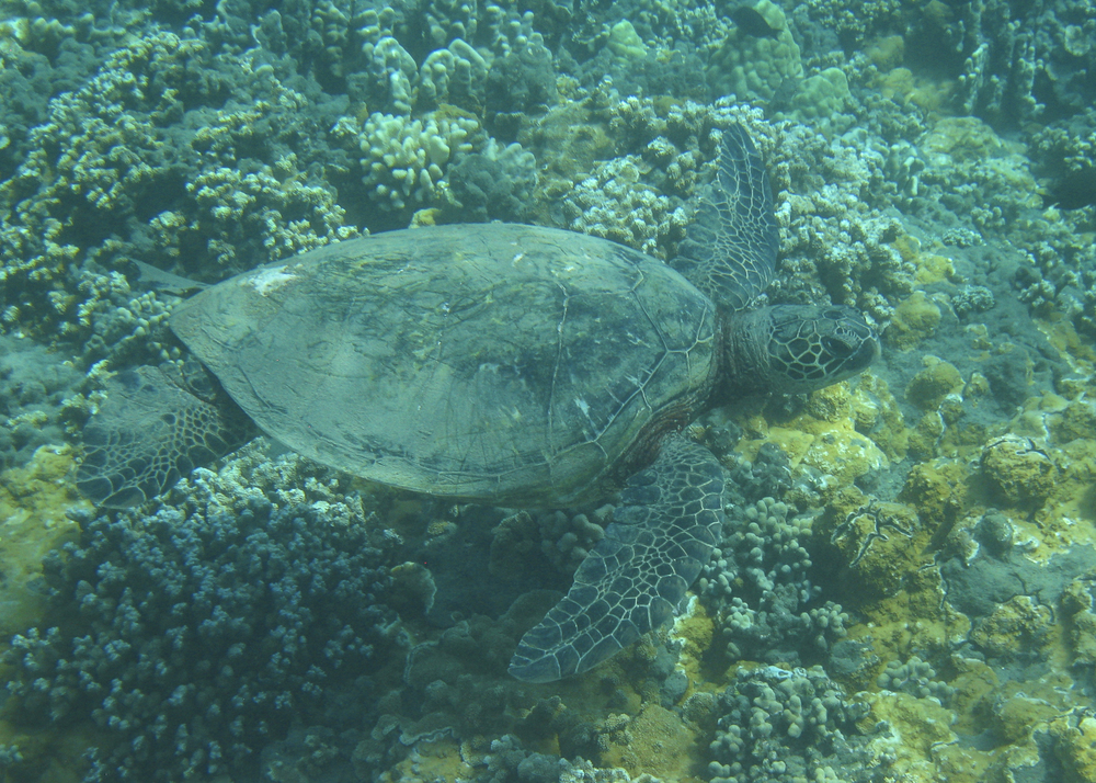 One of the many sea turtles we saw while snorkeling.