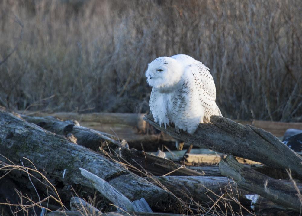 2012 01 Snowy Owls-2.jpg