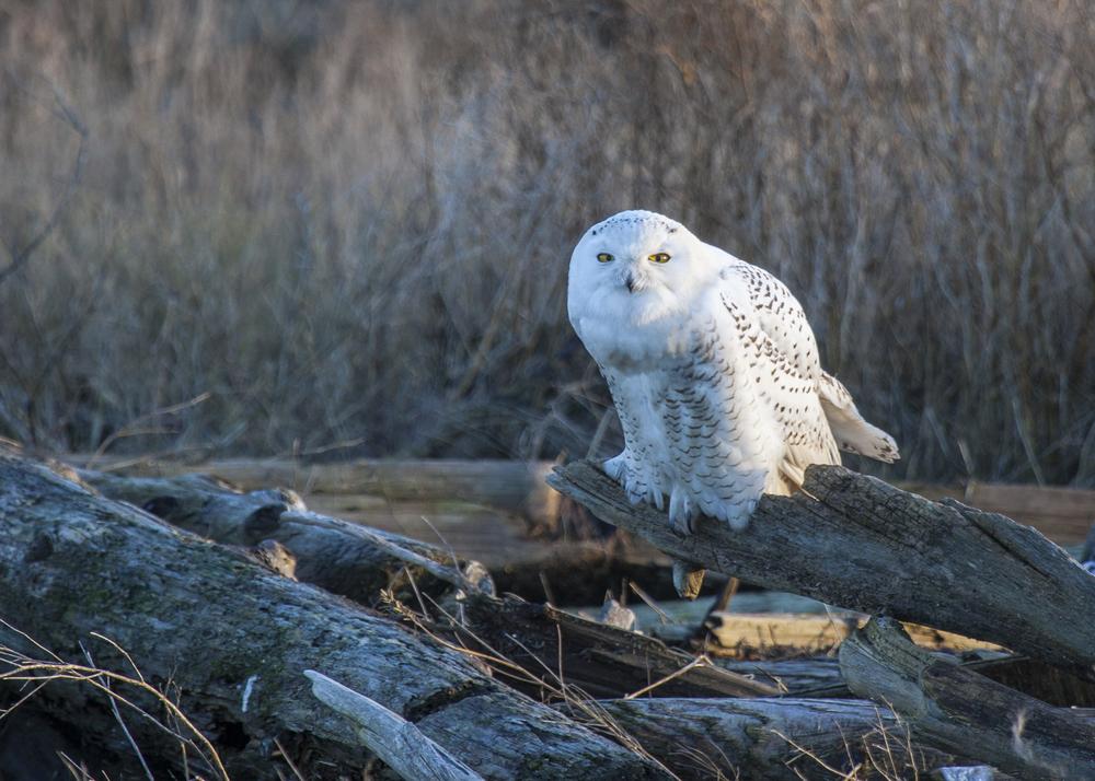 2012 01 Snowy Owls-3.jpg